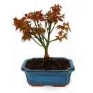 "Bonsai Acer palmatum ""little princess"""