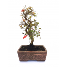Bonsai Punica granatum